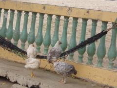 Chicken_hammock