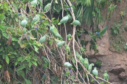 Green_parrots3