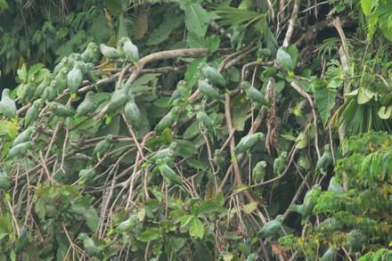 Green_parrots_1